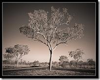 Kimberley Gum Tree, Flemming Bo Jensen Photography